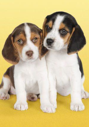 Clementoni Παζλ 500 H.Q.Nice Beagles (30356)